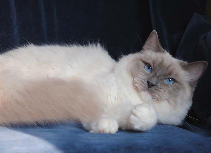 Ragdoll Cats Ragdoll Breeder Queen Ragdolls Ohio Ragdoll Cat Cats Cute Cats