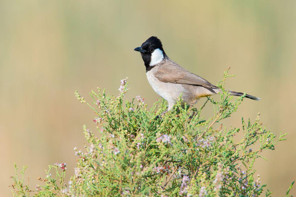 صوت البلبل اجمل انغام الطبيعة قائمة منوعة لتغريده طيور العرب Bulbul Animals Birds