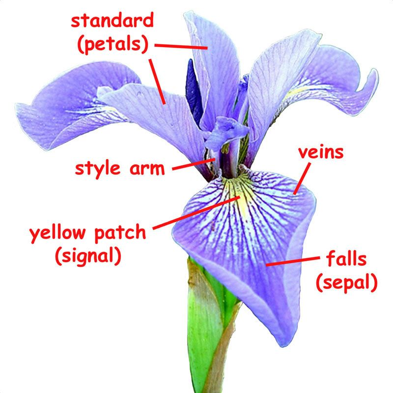 Http Www Fs Fed Us Wildflowers Beauty Iris Images Blueflagiris Flower Lg Jpg Iris Flowers Blue Flag Iris Flower Template
