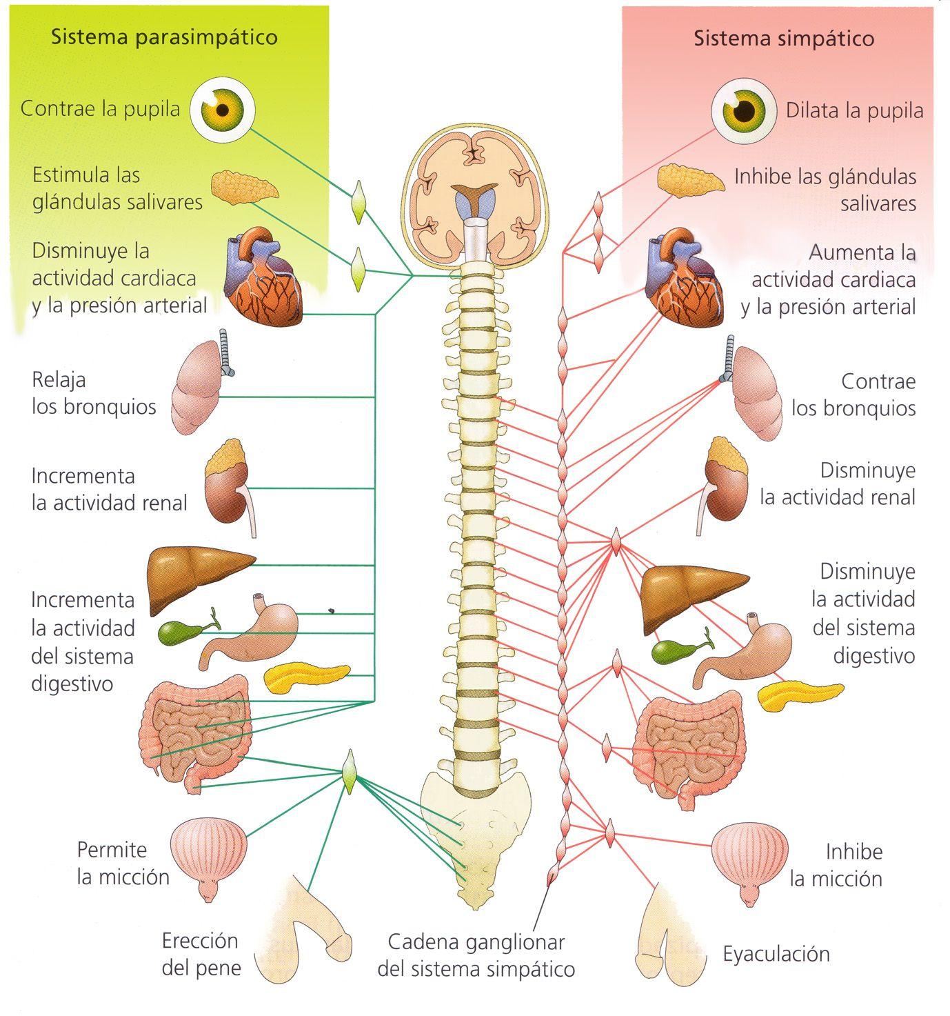 sistema nervosos central periferico vegetativo simpático ...
