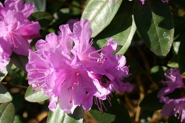 This PJM Rhododendron is in mostly shade and is far more prolific than the regular rhododendrons which are in an identical shade situation.
