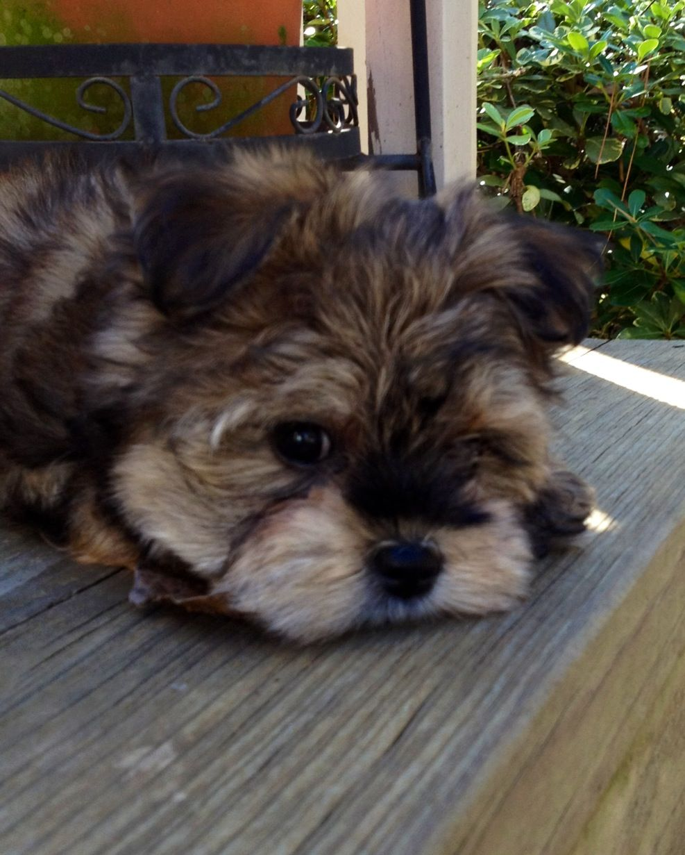 Morkie Harlow Love your pet, Cute puppies, Morkie