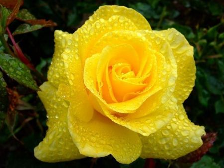 Wet Yellow Rose Flowers Nature Background Wallpapers On