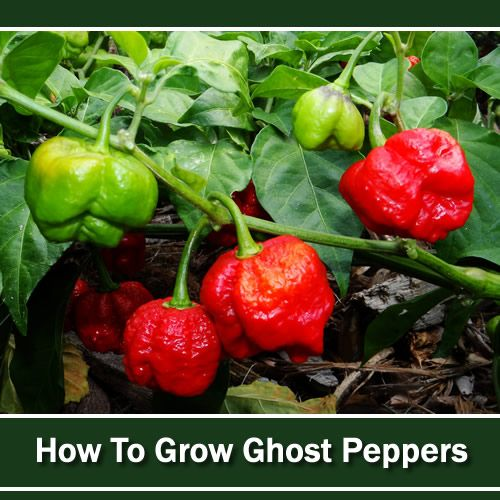 The Hottest Peppers On The
