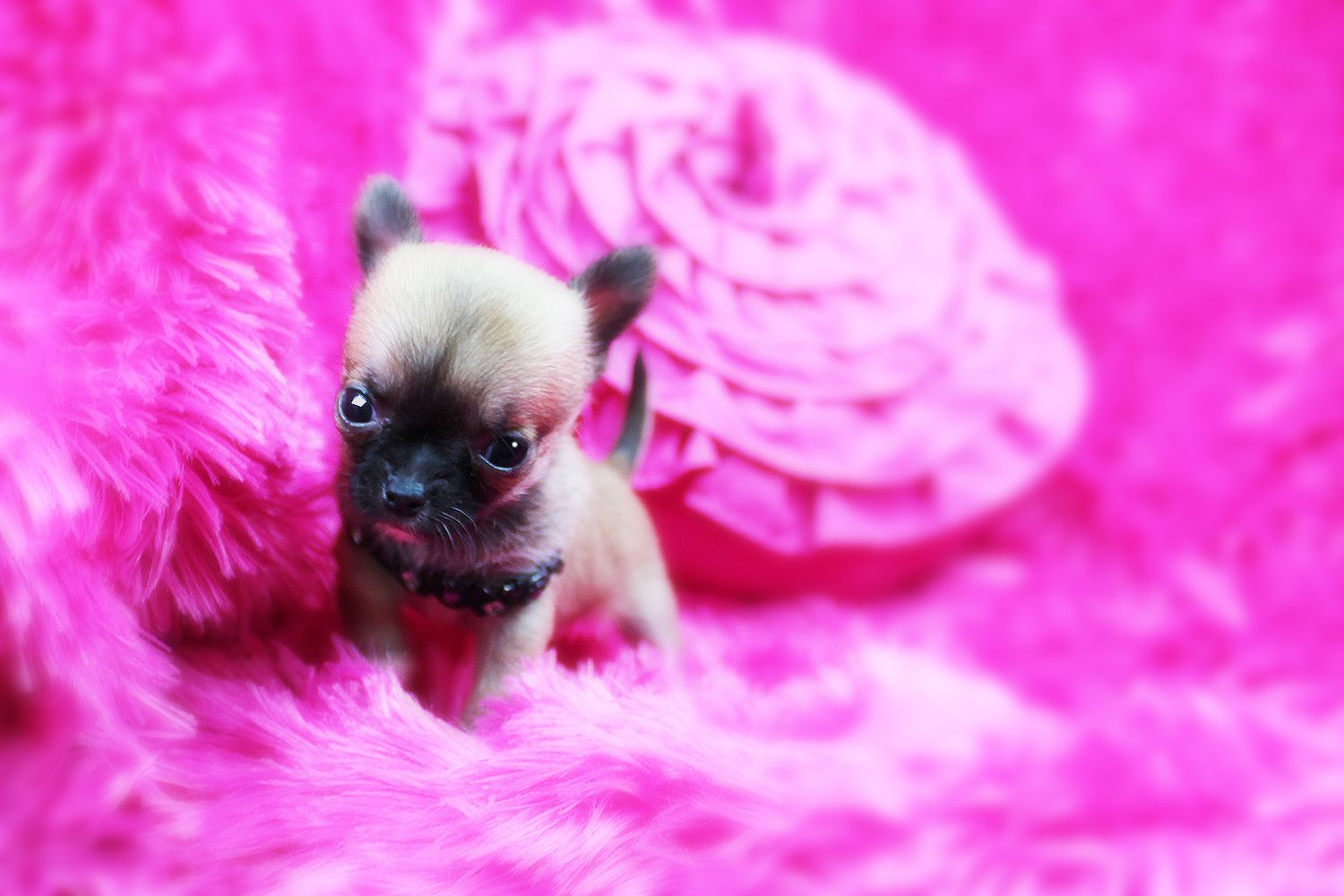 Beautiful micro teacup Chihuahua puppies for adoption near