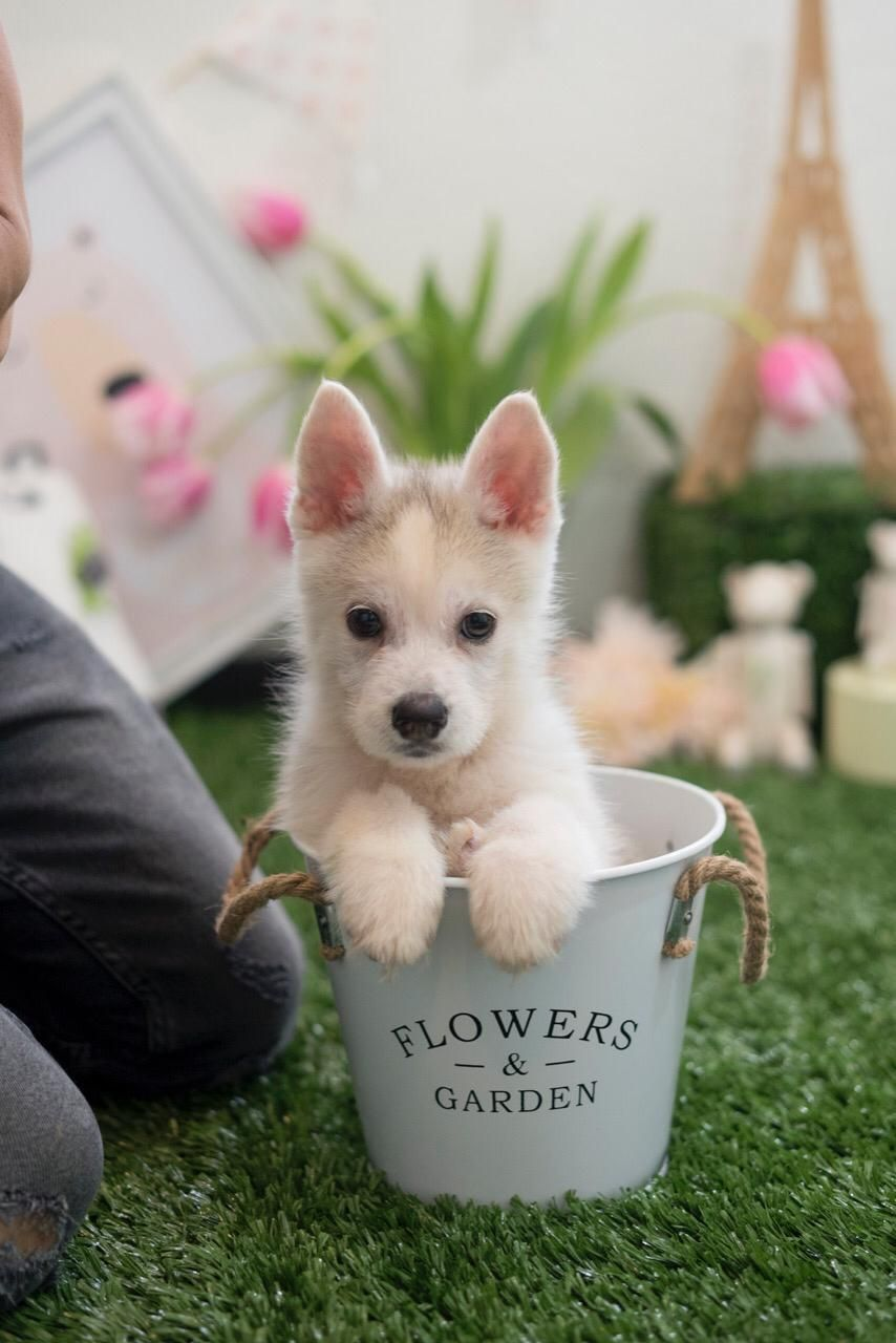Home pomsky dog teacup puppies cute funny dogs