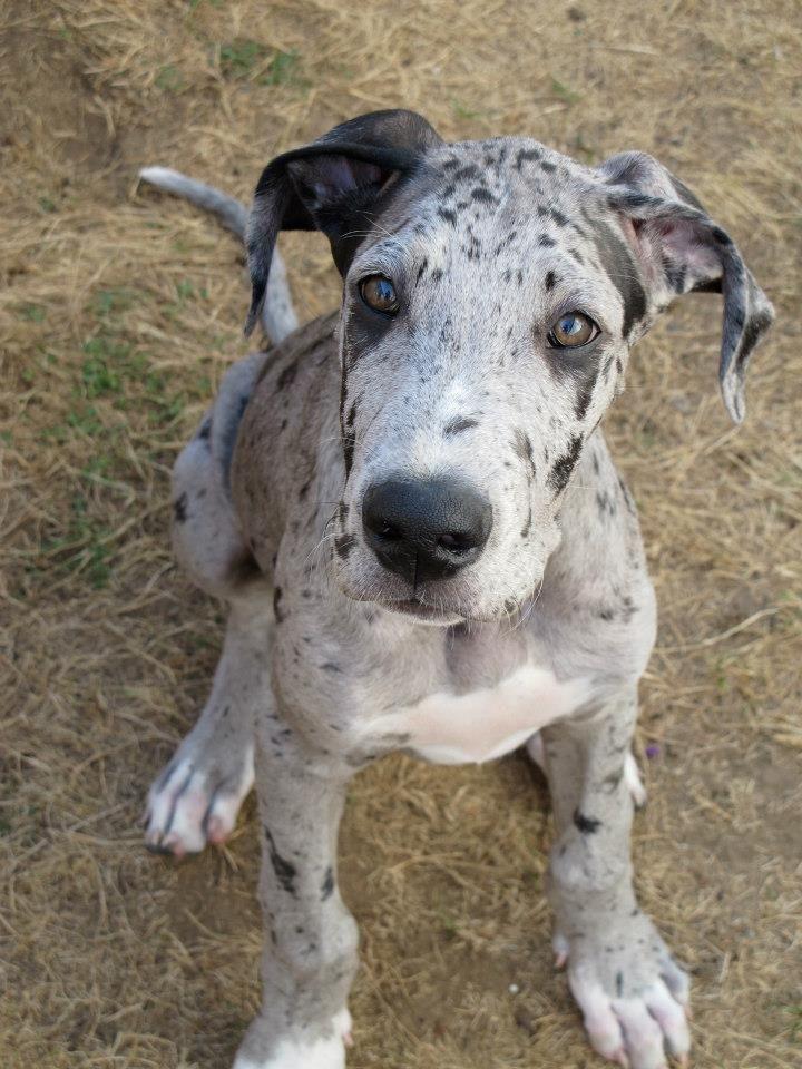 Grigio The Great Great Dane Merle Puppy Grey Dane Puppies