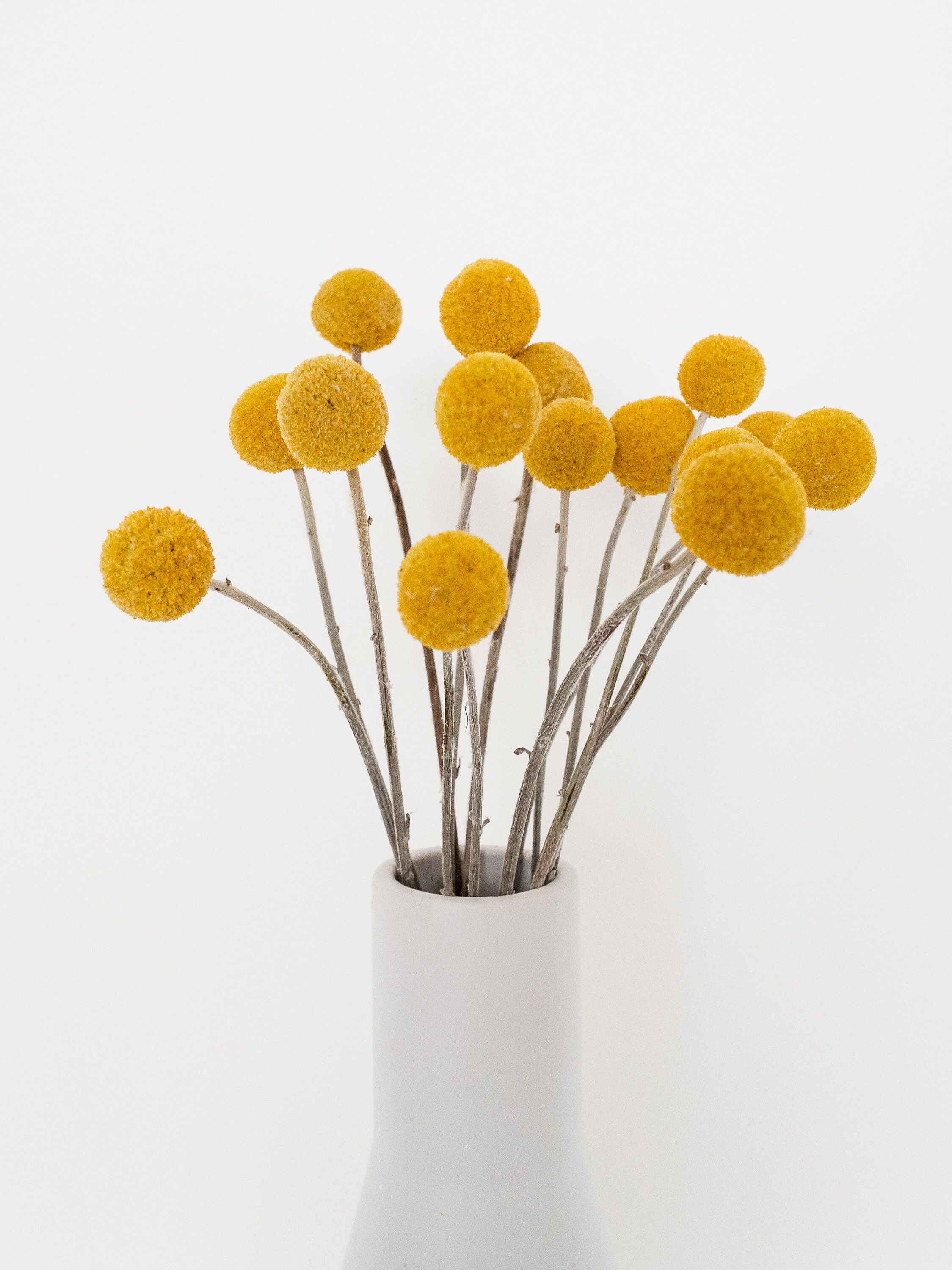 Dried Billy Buttons Craspedia 15 Stems Dried Flowers Dried Flowers Arrange Rustic Wedding Home Decor Vase Filler Dried Flowers Billy Buttons Flower Decorations