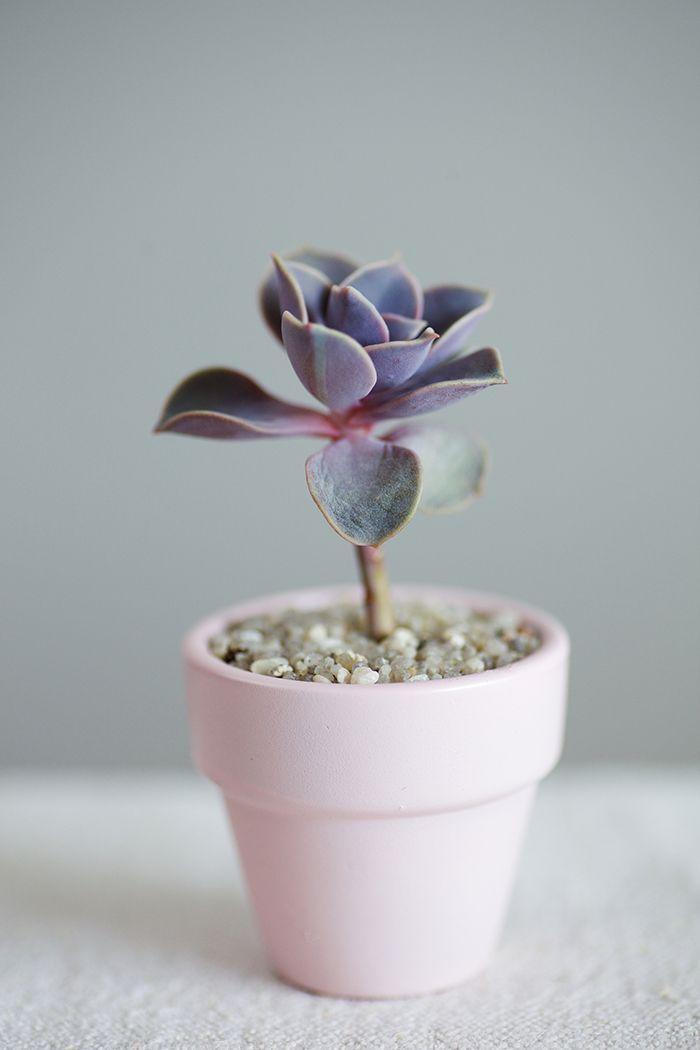 Une Jolie Succulente Avec Ses Feuilles Rose Et Violette Avec