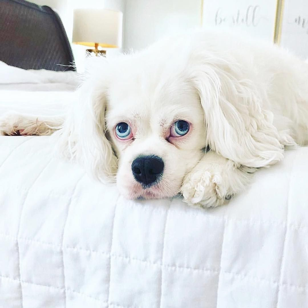 Falkor Is That You The Beautiful Lillee Of Threedesertcavs Www Cavlife Com Cute Animals Cute Dogs Super Cute Animals