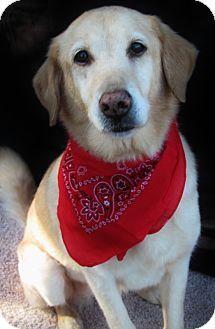 Tallahassee Fl Golden Retriever Labrador Retriever Mix Meet Penny A Dog For Adoption Kitten Adoption Adoption Golden Retriever Labrador