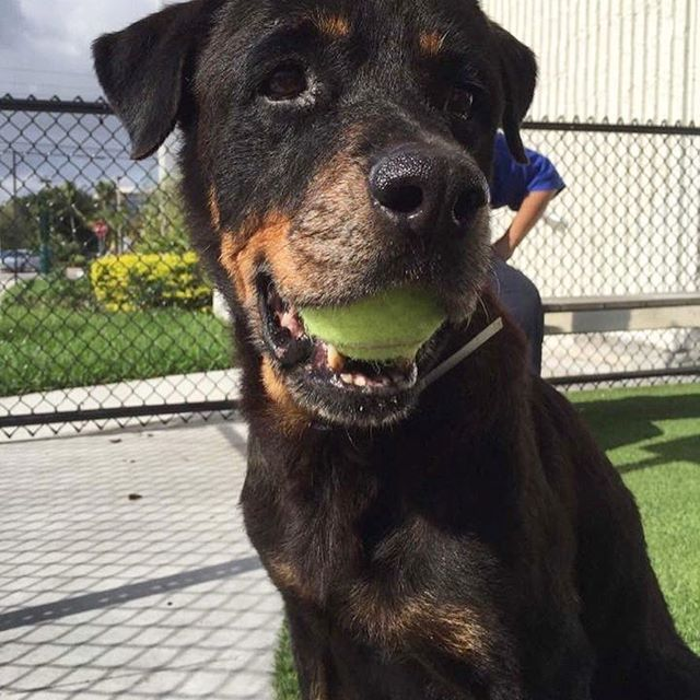 Gorgeous Rottweiler Angel Jas Got Out Of Her Kennel For A Game Of