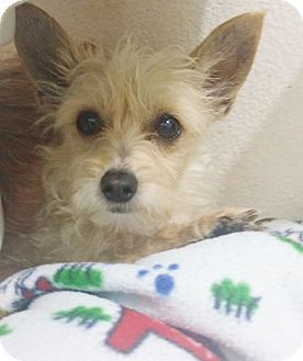 Inland Empire Ca Yorkie Yorkshire Terrier Chihuahua Mix Meet