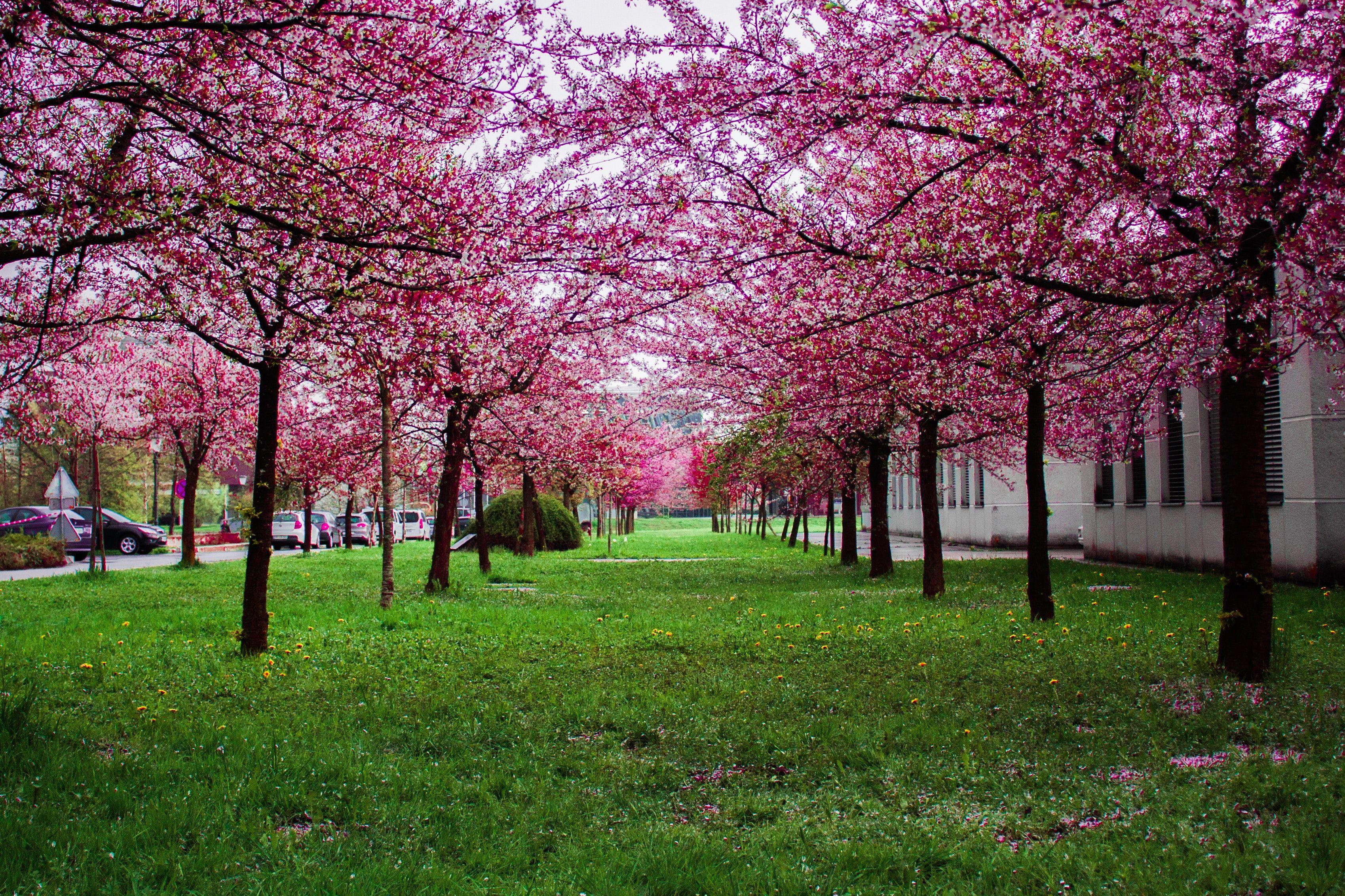 Pin By Karen Peebles On Beautiful Nature Flowering Trees Flowering Cherry Tree Pink Trees