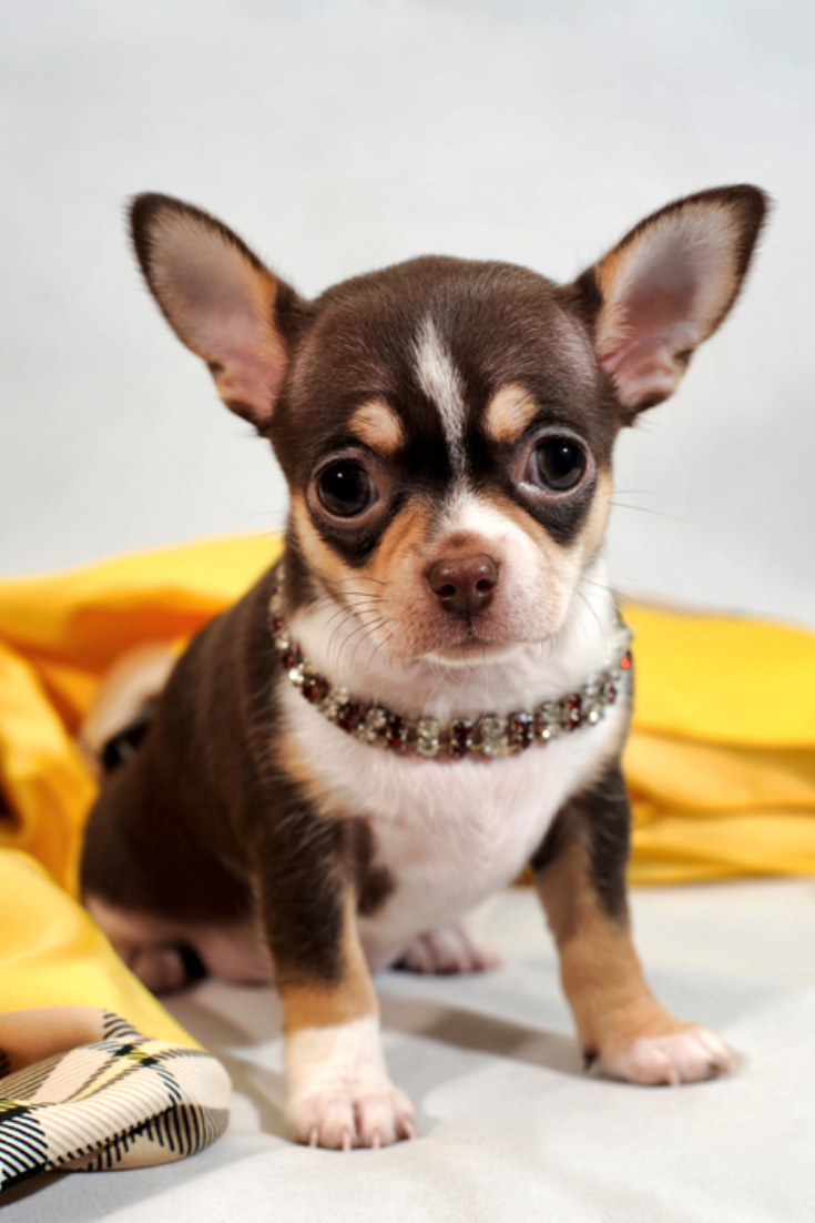Cute Brown Short Hair Chihuahua Puppy And Shawl On White Background In 2020 Chihuahua Puppies Teacup Chihuahua Puppies Chihuahua Lover