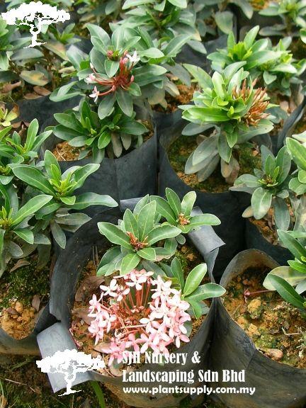 S050401ixora Super Pink Wholesale Plants Shrubs Wholesale