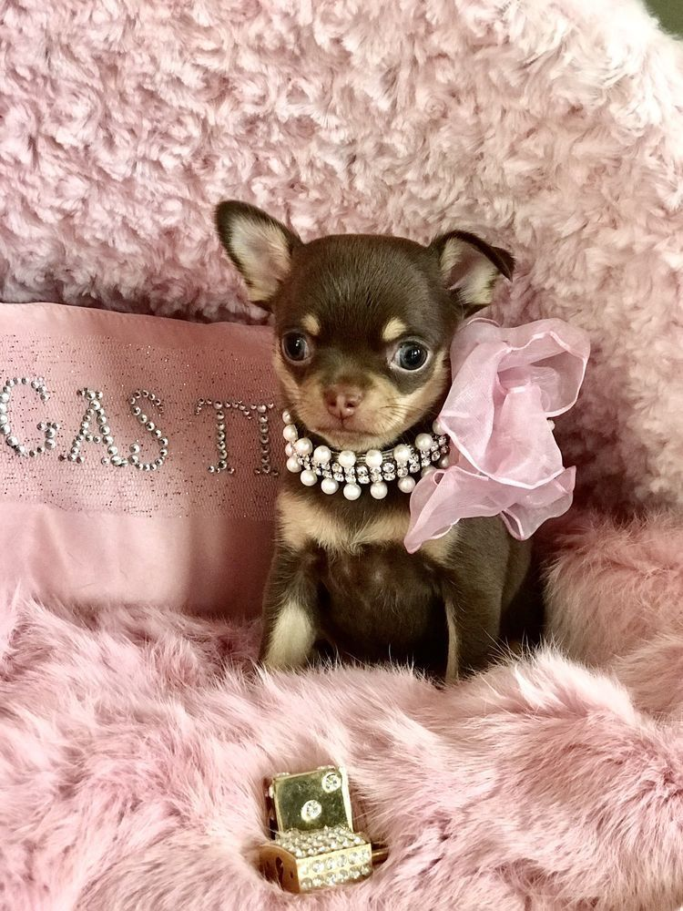 Pin By Shawn Baines On Love Me Love My Chi Chihuahua Puppy