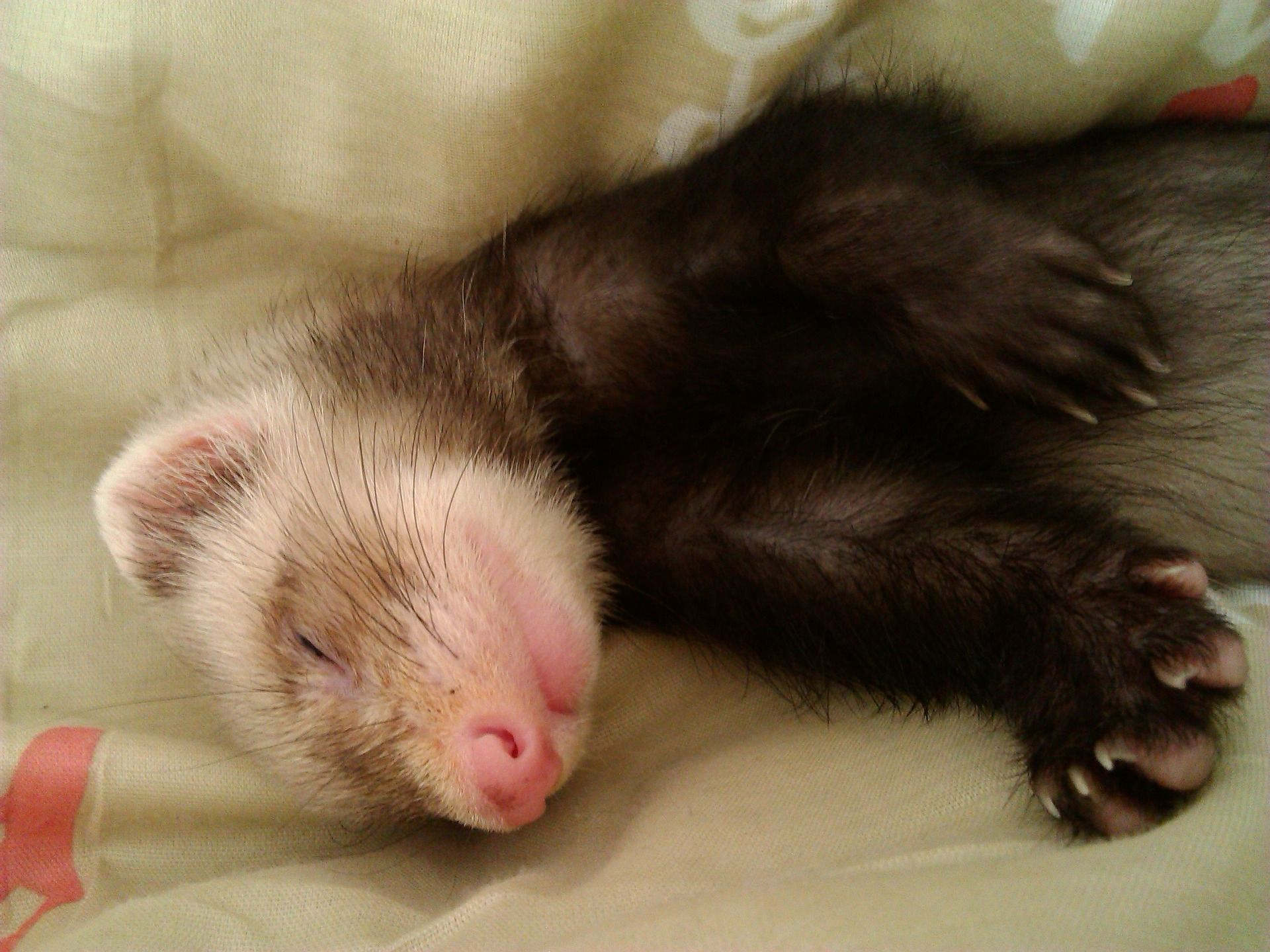 SIKANTISPETS Ferrets just love to sleep in ferret tents & SIKANTISPETS: Ferrets just love to sleep in ferret tents | My ...