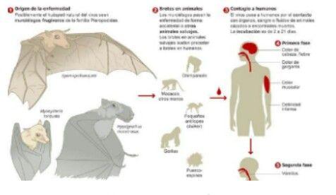 Ciclo del ébola