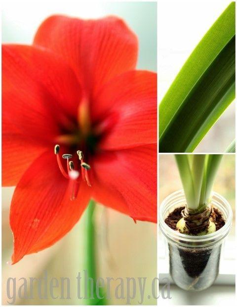 Growing Amaryllis In A Jar Garden Therapy Amaryllis Bulbs Bulb Flowers Plants