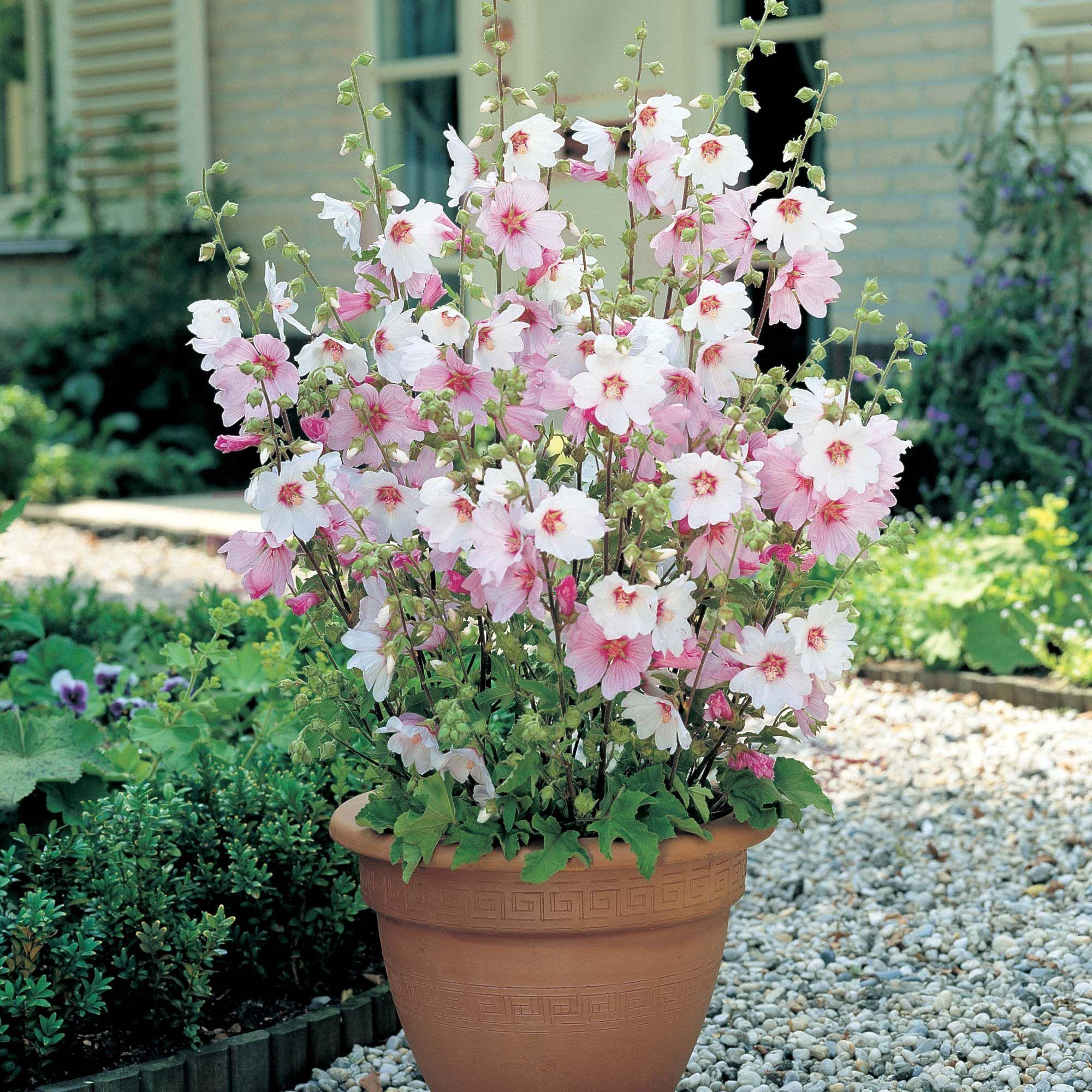 Cottage Garden Plants, Plants, Container Plants