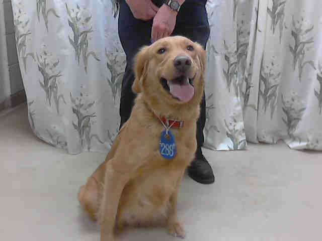 Texas Urgent Addy Id A395873 Is A 2yo Golden Retriever In Need Of A Loving Adopter Rescue At Harris County Public Health Env Golden Retriever