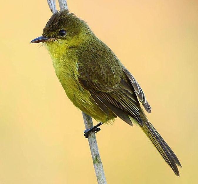 Yellow Flycatcher-warbler | Yellow+flycatcher-warbler+Chloropeta+natalensis.jpg