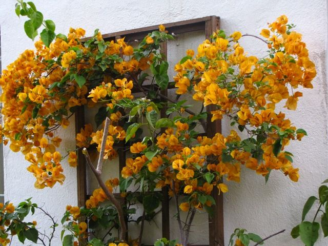 Bougainvillea 'California Gold' | Planting flowers ...