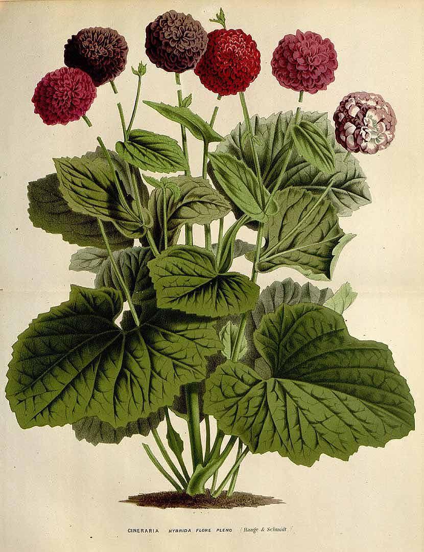 Senecio hybr. cv. flore pleno [as Cineraria hybr.] Houtte, L. van, Flore des serres et des jardin de l'Europe, vol. 22: t. 0 (1845)