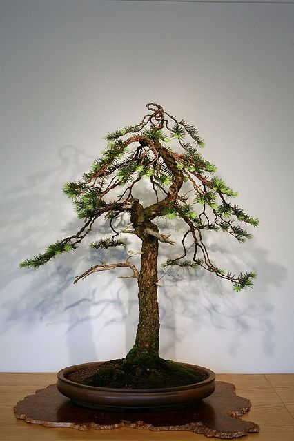 Douglas Fir Bonsai : douglas, bonsai, Douglas, (Pseudotsuga, Menziesii), Bonsai, Tree,, Garden,, Plants