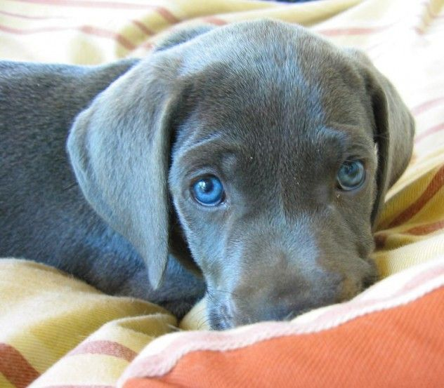 Blue Great Dane Puppy Chewing The Blanket Ok Go Ahead Animals