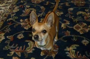 Rocky 2 is an adoptable Chihuahua Dog in New Orleans, LA. While pumping gas on a very cold day at a gas station on a busy highway next to a mobile home park, I saw a tiny, thin chihuahua looking for s...
