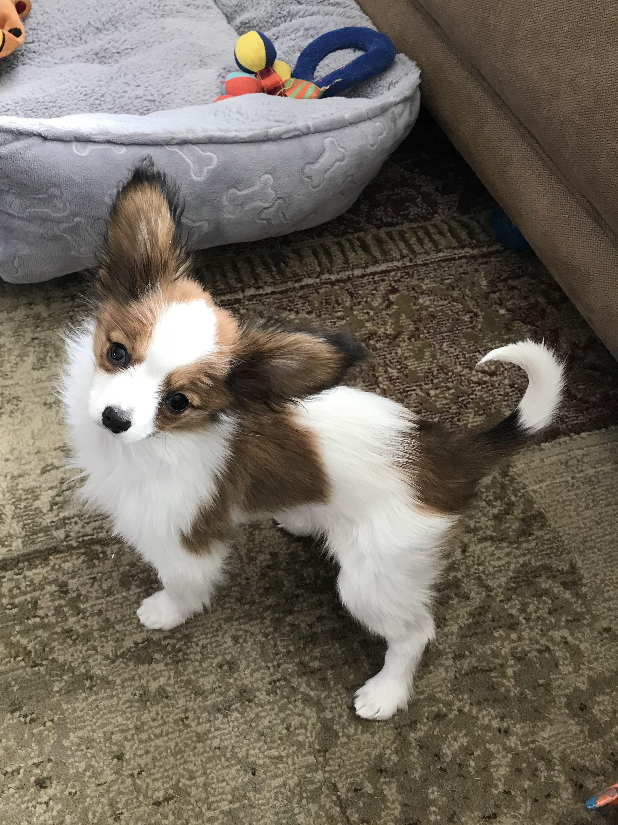 Papillon Puppy Smallpuppiesphotos Puppy Dogs Papillion