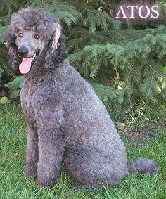 Count Atos De La Fer Atos Poodle Puppies For Sale Poodle