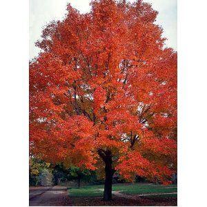 25 Scarlet Carolina Red Maple Tree Acer Rubrum Seeds Trees Red