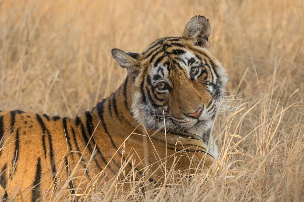 Lightning Is A 2 Year Old Tigress From Ranthambore Tiger Reserve In India She Got Her Name From The Shape Of The Stripe Lightning Photos Photo Animal Photo
