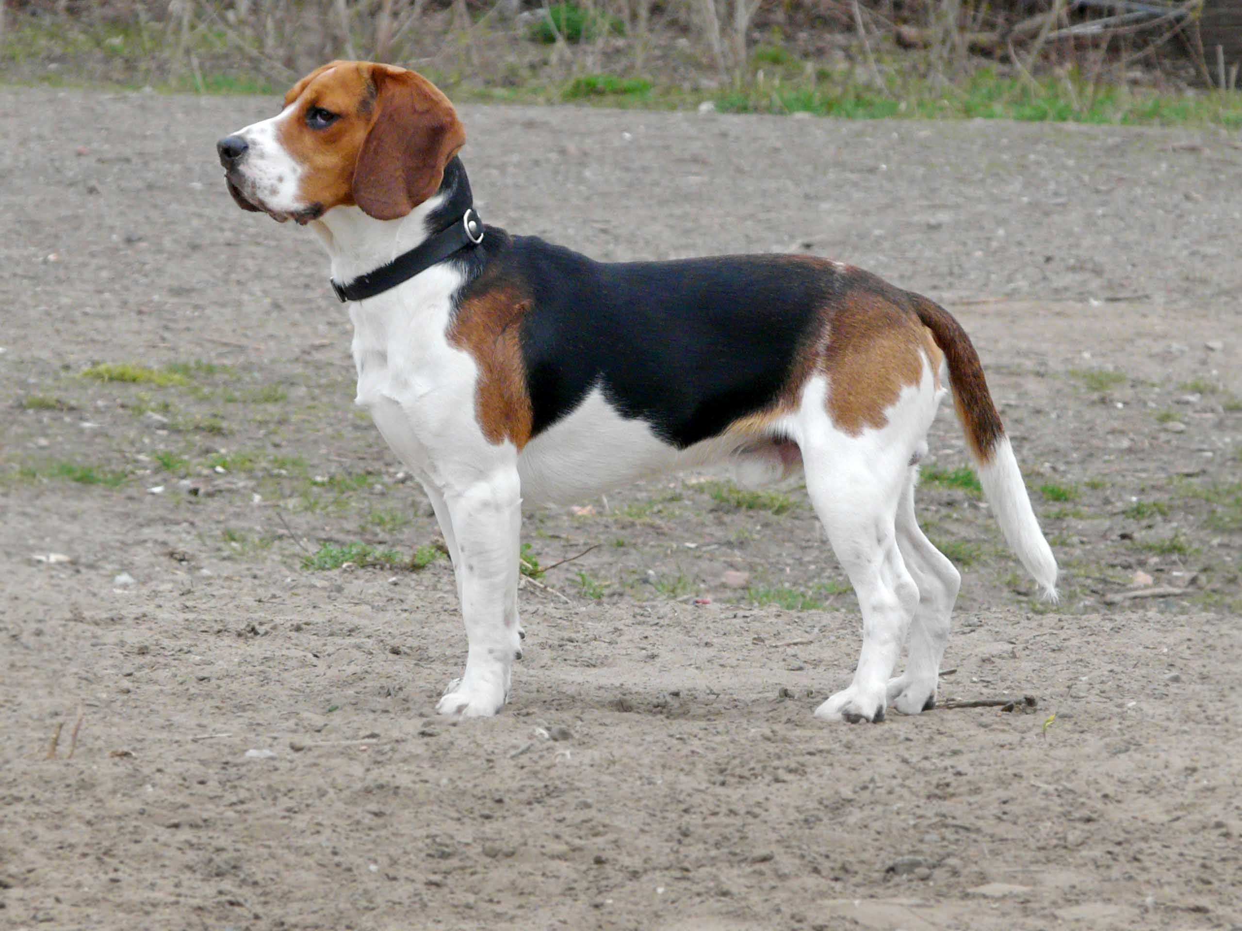 Beagle Dog Beagle Dog Beagle Dog Breed Dog Breeds