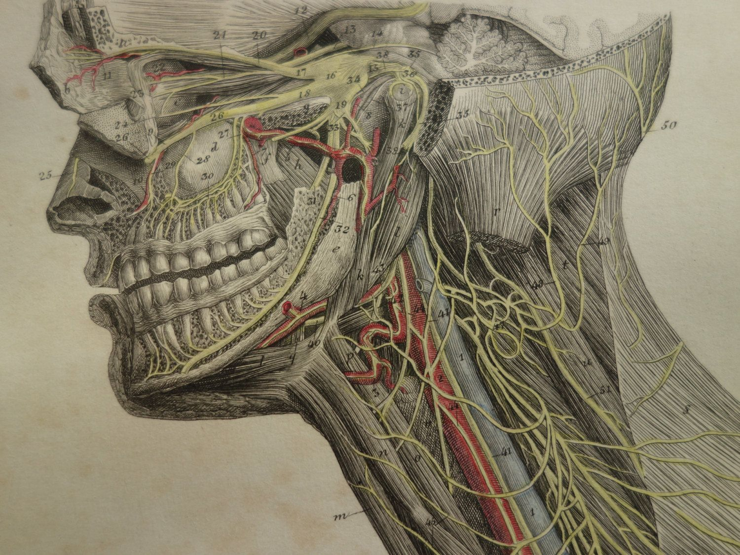 150 Years Old Anatomical Engraving Of The Nerves In Head Neck