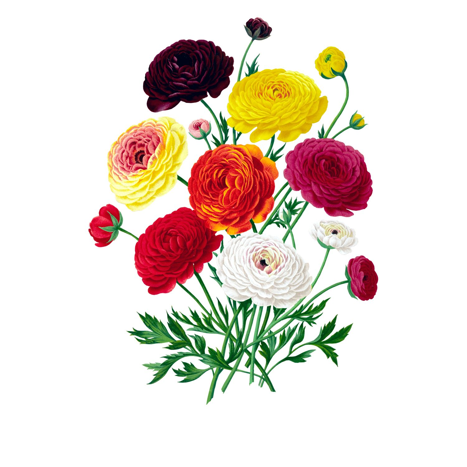3671 A275 Double French Ranunculus Bouquet Free Graphics