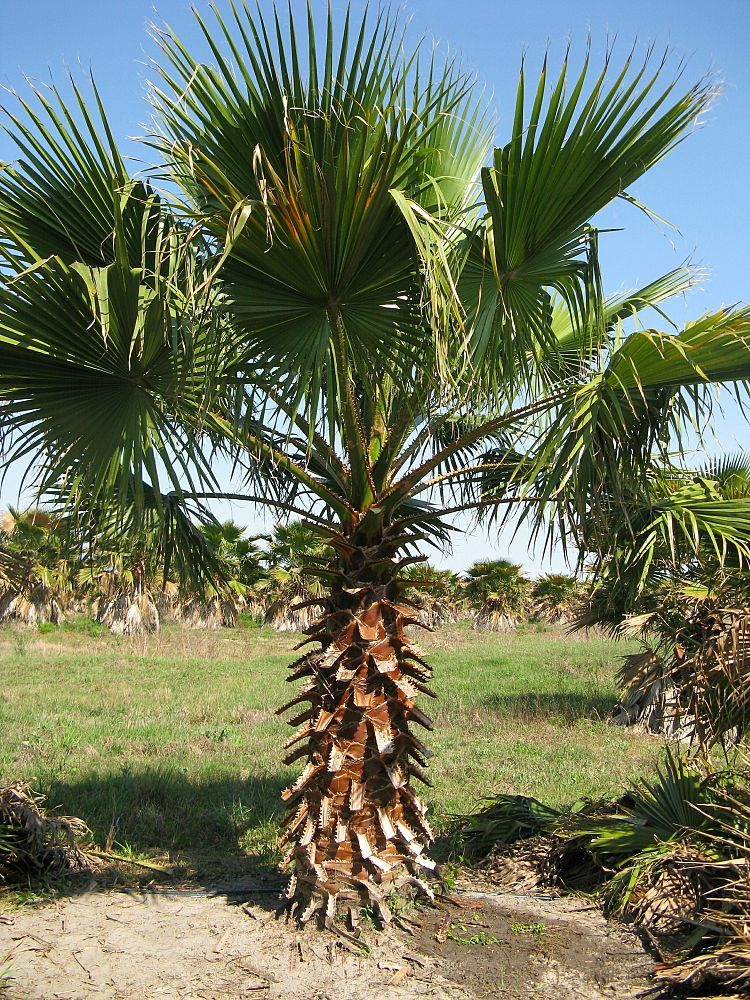 Florida Tree Farm Growers Whole Palm Nursery California Fan 6 Ft Ct Palms Palmgrower Feildgrown Treefarm Palmtrees