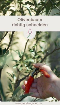 Lies, wie und wann du deinen Olivenbaum schneiden musst, damit er gesund bleibt und eine schöne Form behält. #Garten #Pflanzen #Baum #Gartenpflege #Oliven