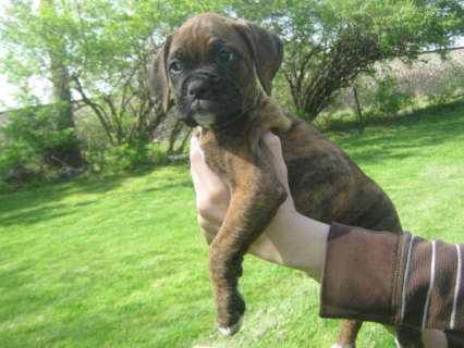 Brindle Boxer Ckc Nkc Flashy Brindle Boxer For Stud In