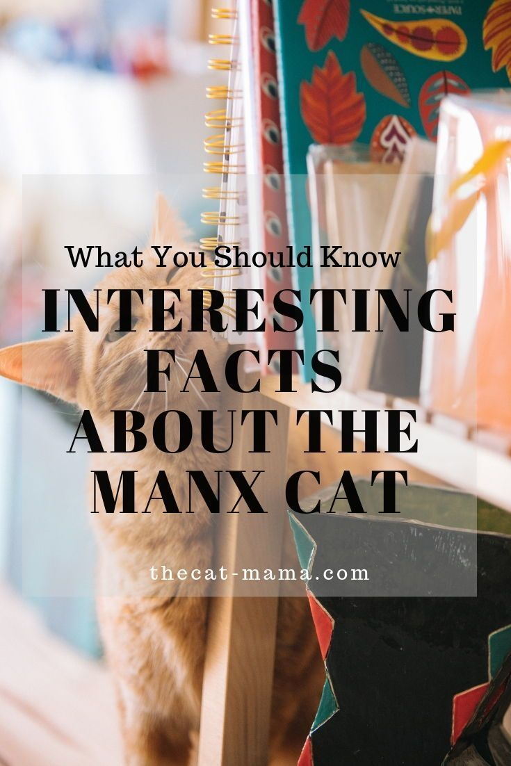 Amazing Facts You Should Know About Your Manx Cat #irishsea Amazing Facts You Should Know About Your Manx Cat - Manx Cat - Ideas of Manx Cat #ManxCat -  The history of the Manx cat is an interesting one. The Manx breed has been around for at least two centuries; maybe three centuries. It is one of the oldest known cat breeds in the world. The cat born without tails originated on the Isle of Man a remote island in the Irish Sea located between Great Britain and Ireland.  The post Amazing Facts Yo #irishsea
