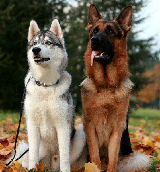 Mechta Na Odnom Foto Nemeckaya Ovcharka I Haski German Shepherd And Husky Dogs Pretty Dogs Puppy Dog Pictures
