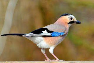 طائر الجي الأوراسي Pticy