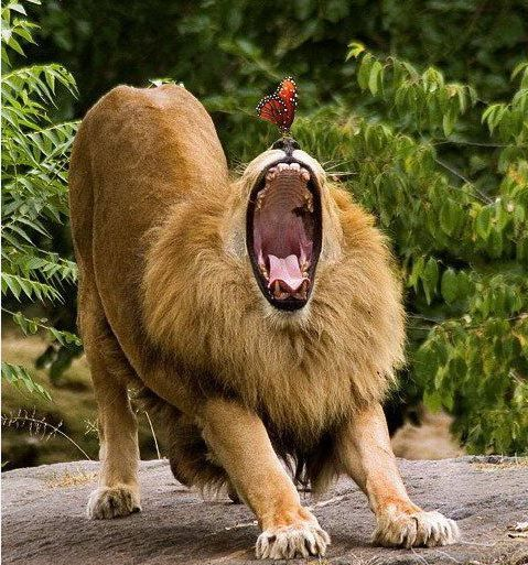 Yawning Lion & Butterfly. Question; Does This Male Lion Realize He Has a Butterfly on His Nose?