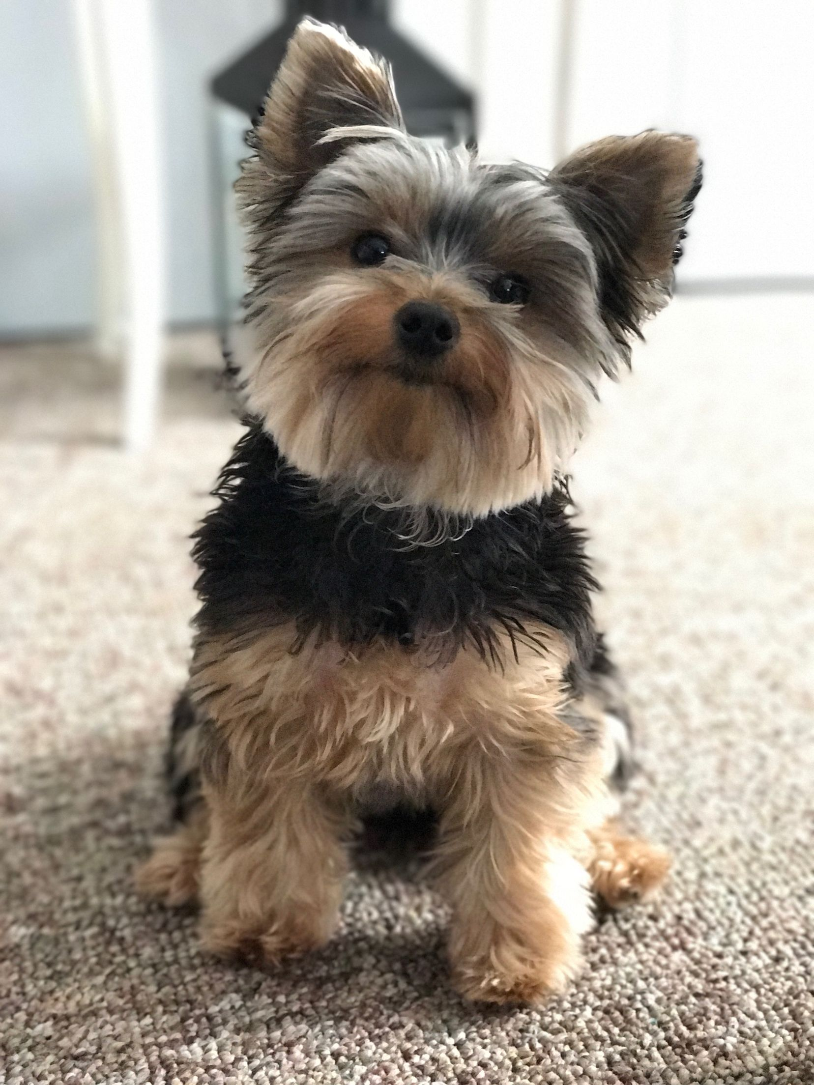 Pin By Gertrud Maletzky On Dogs Yorkie Terrier Yorkie Dogs Yorkie Puppy