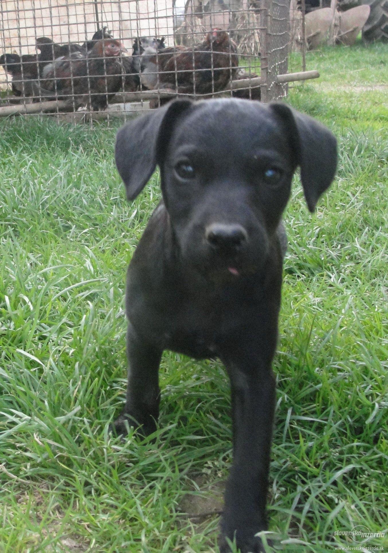Patterdale terrier. Inzercia - Zvieratá 4e31c248f77