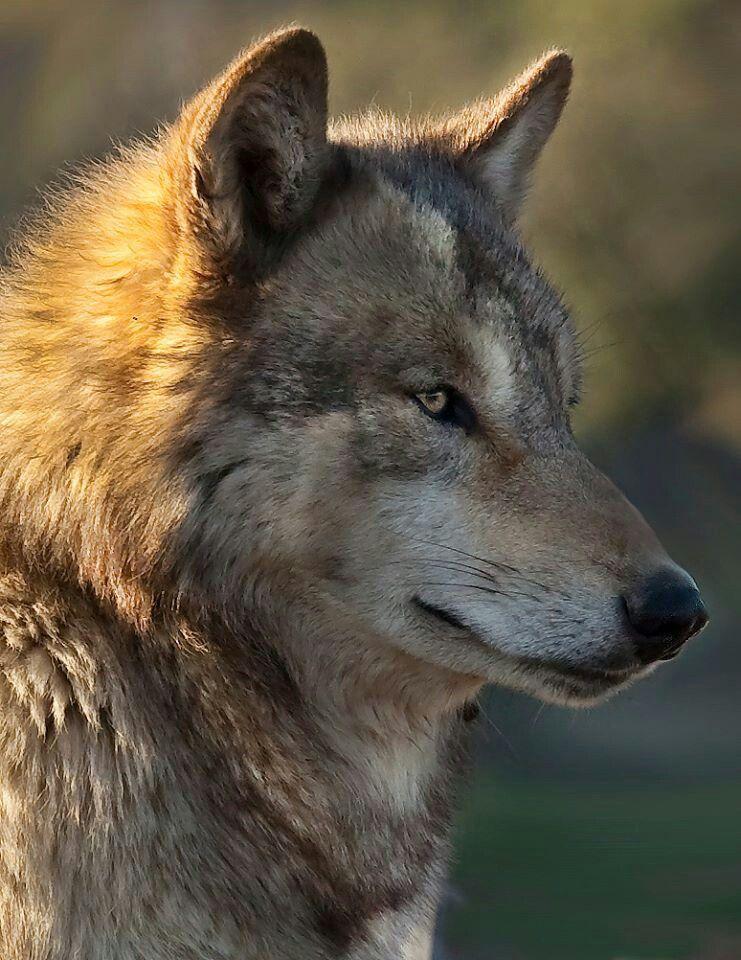 So Beautiful Wölfe Wolf Wilde Tiere Und Tierbilder
