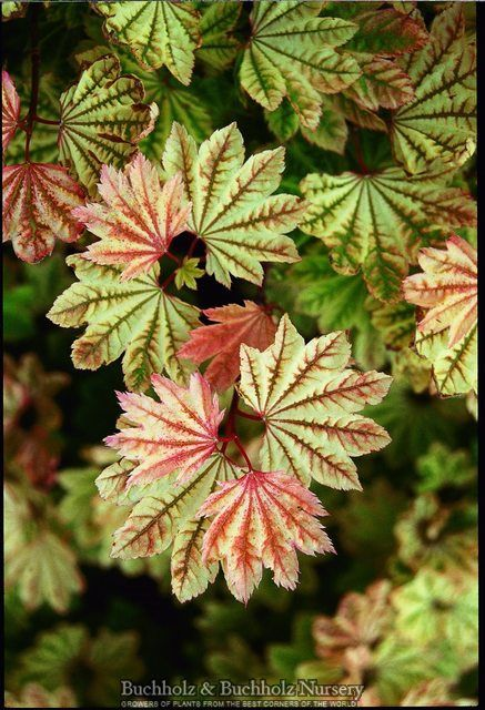 Acer Circinatum Sunglow This Slow Growing Variety Is Famous For